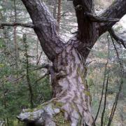 Le bel arbre de pin qui vous attend sur le chemin