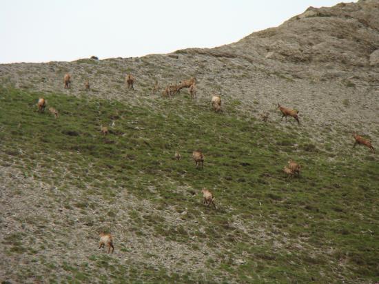 Un troupeau de chamois