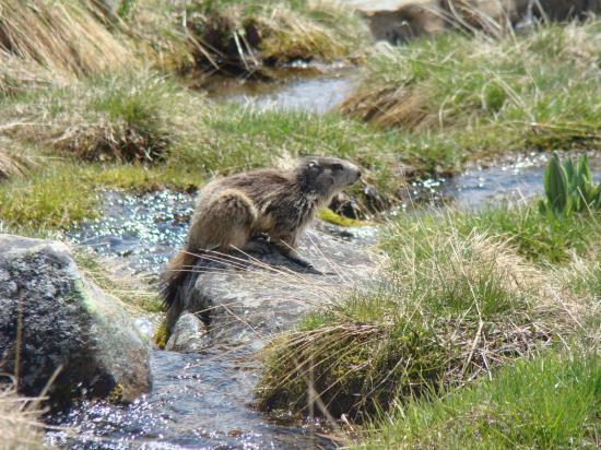 Marmotte au reveil
