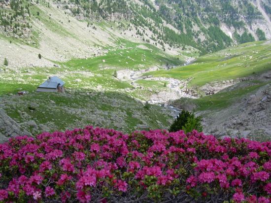 Rhododendrons à la mi-juin