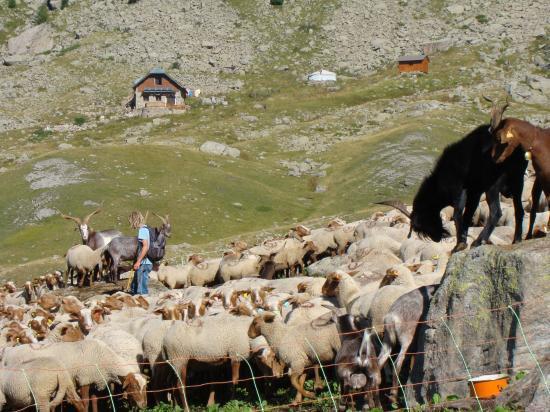 Nils et son troupeau