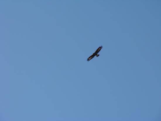 Un jeune aigle